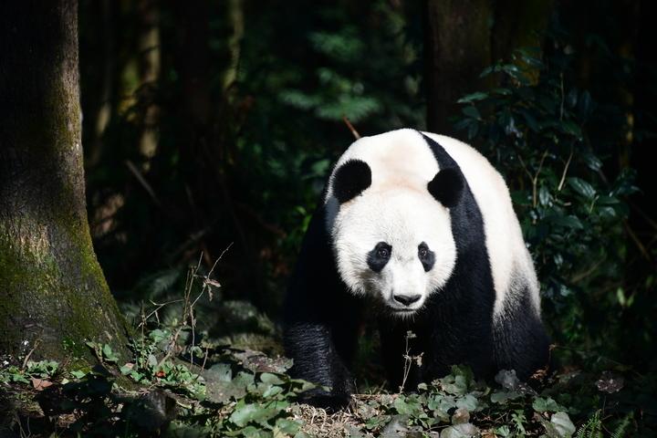 """海归大熊猫""""贝贝""""正式与公众见面"""
