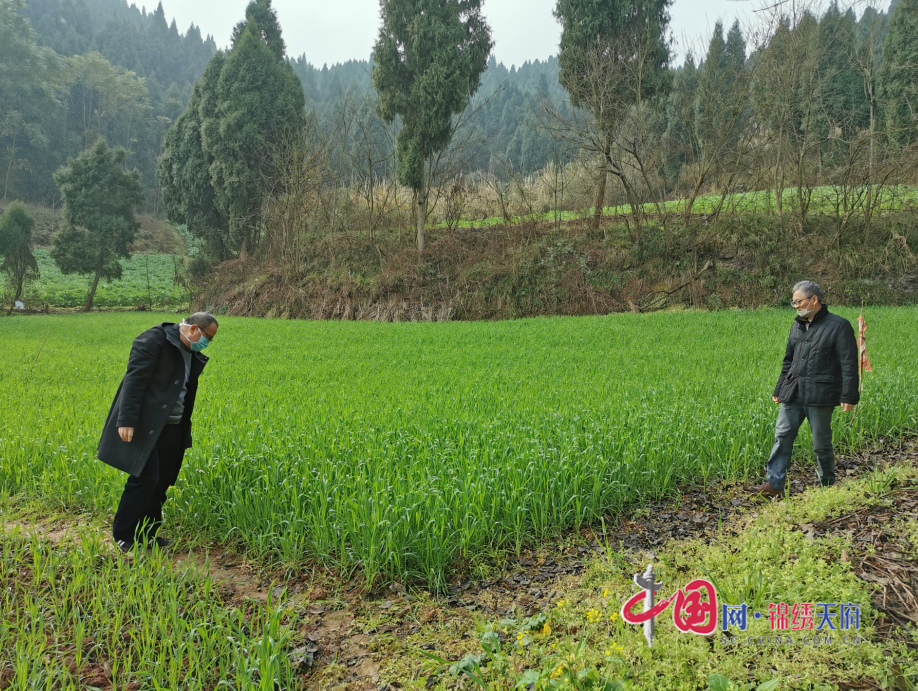 小麦条锈病、油菜菌核病将进入流行期,船山区农业农村局提醒农户尽早施药防治