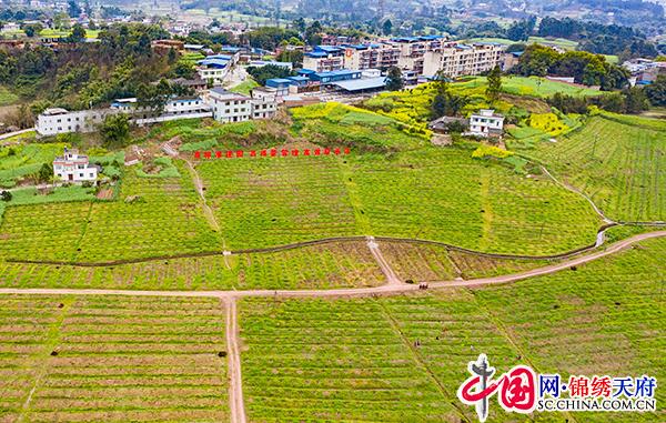 小花椒育成大产业 自贡沿滩助农增收有门道