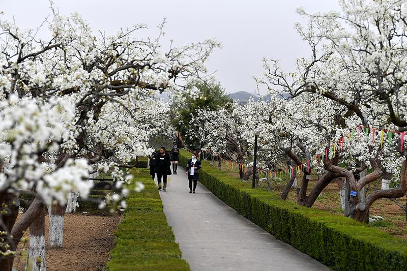 足不出户赏美景 四川苍溪将于3月18日举办网络梨花节