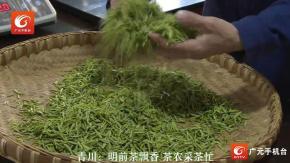 【抗击疫情】广元青川:明前茶飘香 茶农采茶忙