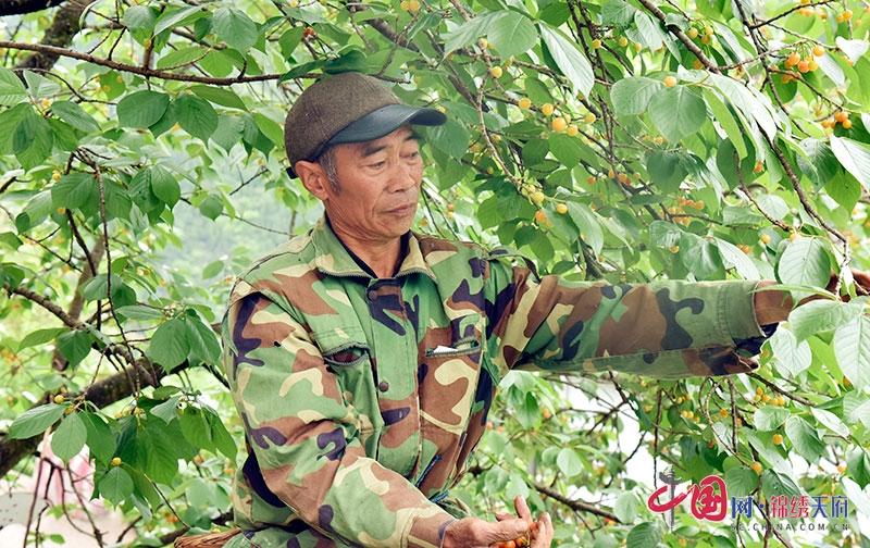 广元朝天:小水果托起乡亲致富梦 沙河樱桃进入采摘期
