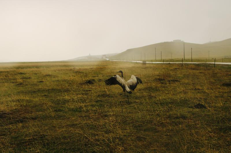小金县、若尔盖县接力救助折翅黑颈鹤  安全放归若尔盖湿地保护区