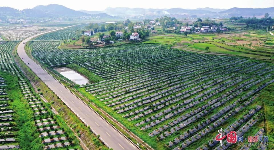远销海外市场 南充嘉陵区晚熟柑橘、柠檬种植面积将达到20万亩