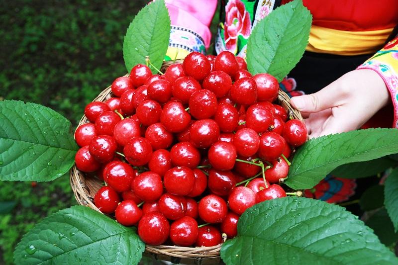 """茂县:以甜樱桃产业为着力点  推动""""农旅深度融合""""带动农民增收致富"""