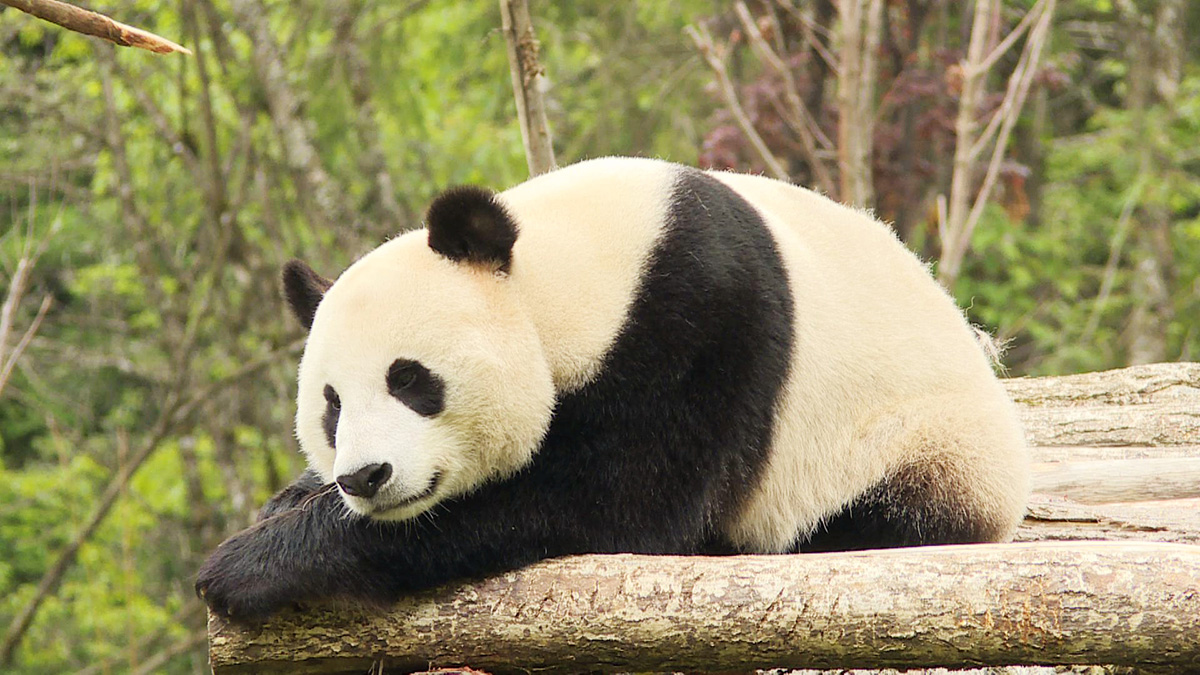 Jiuzhaigou Giant Panda Park opens,Here's your chance to name three giant pandas
