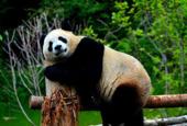Jiuzhaigou Giant Panda Park opens,Here's your chance to name three giant pandas