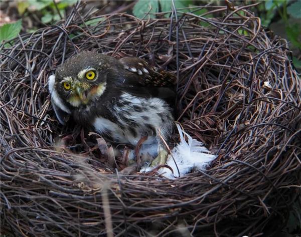 """雅安:鸟类保护不停歇 救助路上""""不打烊"""" 端午节日救助二级国宝领鸺鹠"""