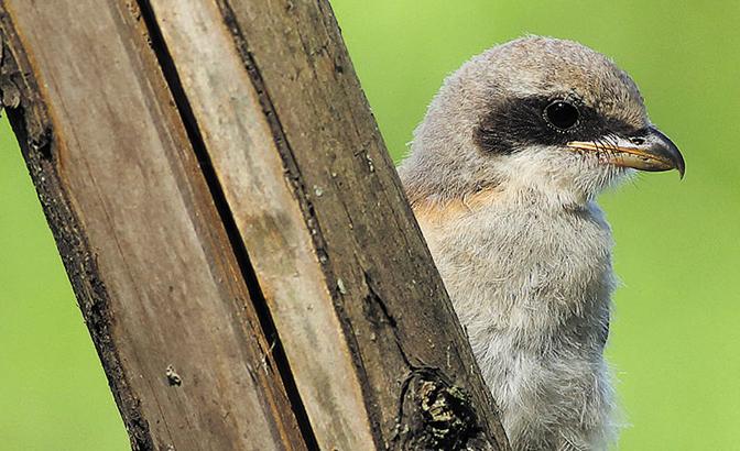 新记录到海南鳽等罕见鸟类 成都境内记录鸟类达495种