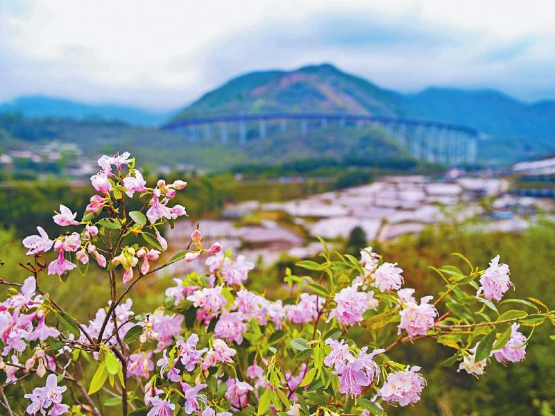 "How""beautiful red flowers"" in the mountains of Sichuan became the favorite of western botanical gardens?"