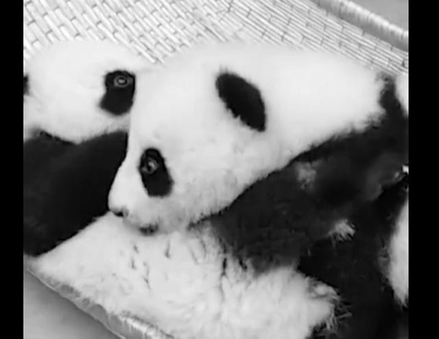 "Chengdu loses giant panda cubs""Shunshun"" and ""Liuliu"" to disease"