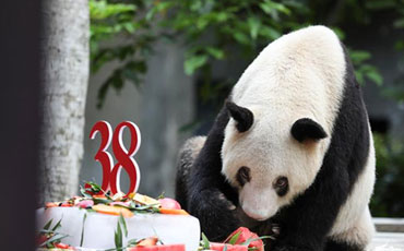 Xinxing, the world's oldest captive giant panda, rings in its 38th birthday