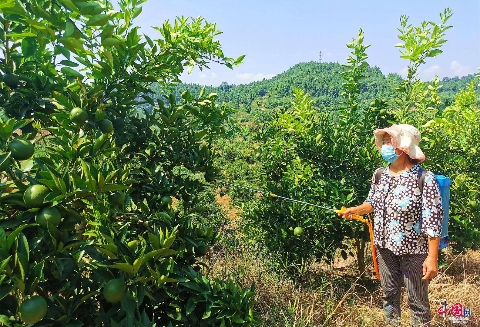 """西充县农场主改良种植技术 柑橘涂上""""防晒霜"""""""