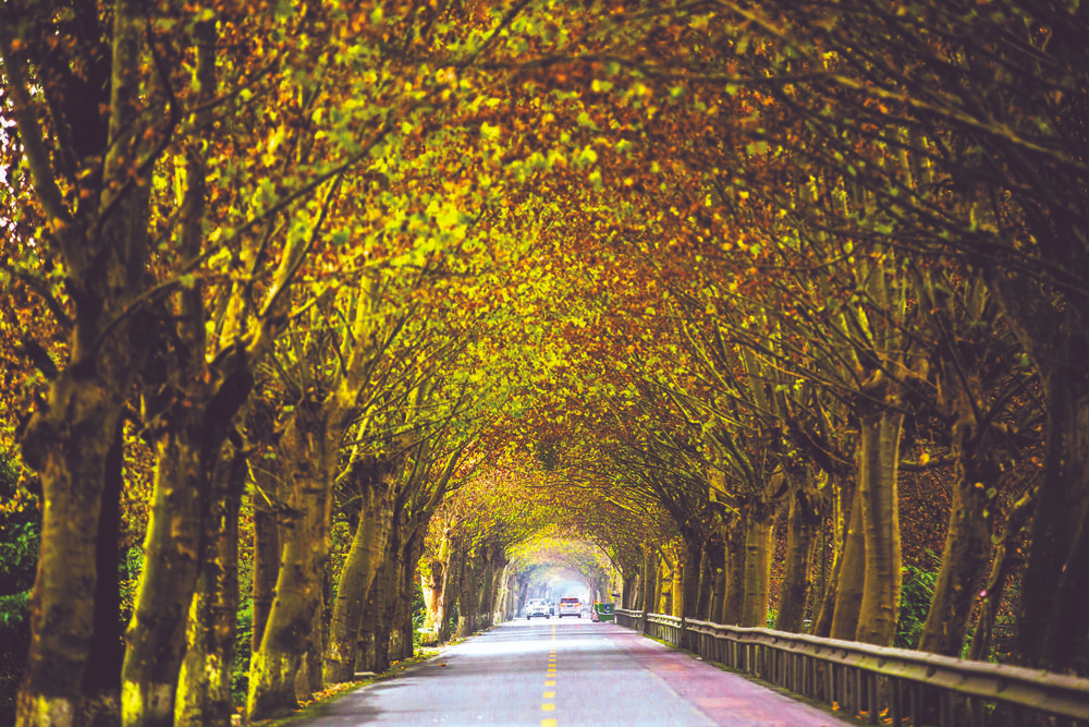 Chengdu's autumn yellow foliage is a dazzling sight for sore eyes