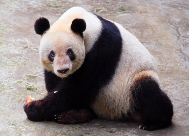 """Xinxing"", the oldest captive giant panda in the world, has passed away"
