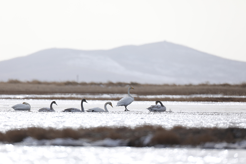 Swans turn Ruoergai Plateau Lake into winged visitors' paradise