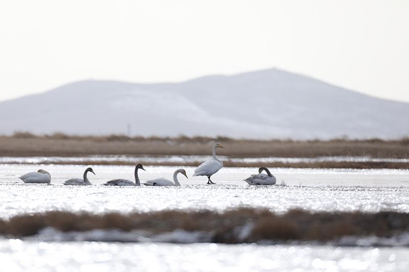 Swans turn Ruoergai Plateau Lake into winged visitors' paradise