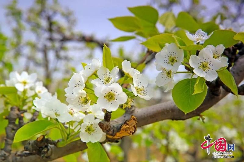 自贡贡井:三台梨园里的春天