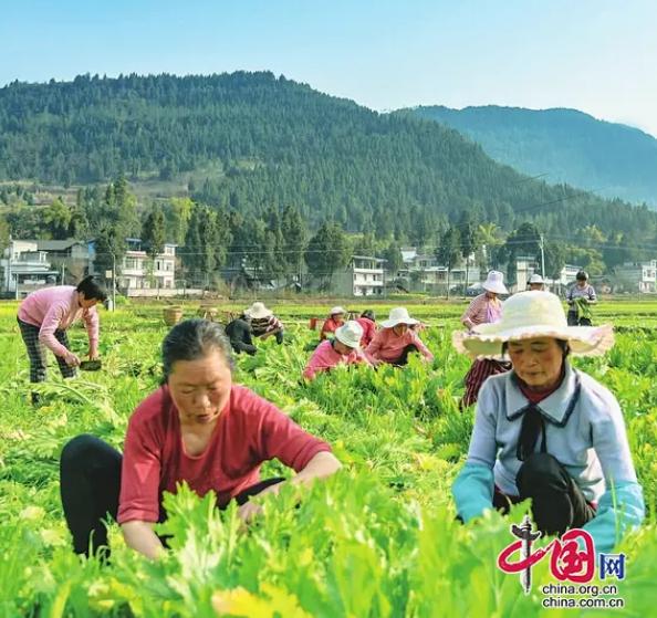 充分利用土地、促进群众增收致富——仪陇县1.2万余亩榨菜丰收