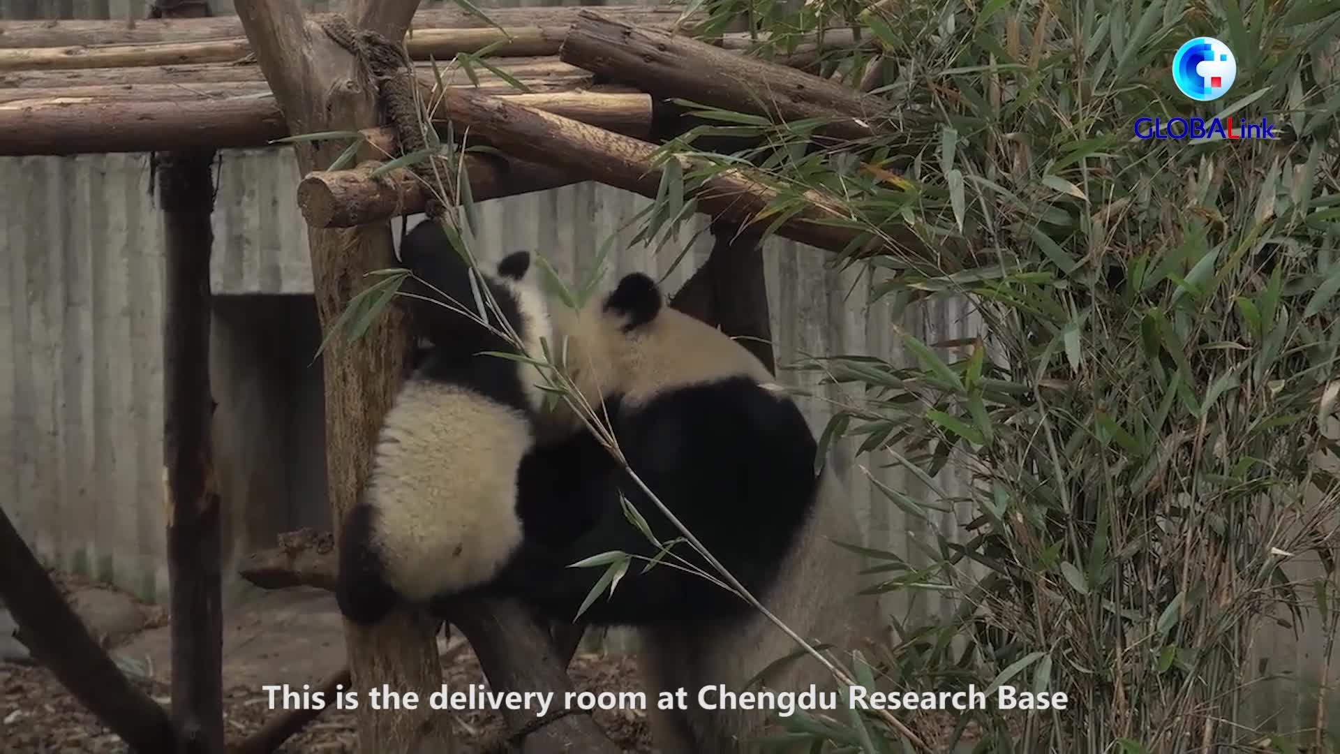 From Sichuan to Macao, pandas are always welcome