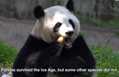How to understand panda's diet shift from meat to bamboo?   Pandaful Q&A