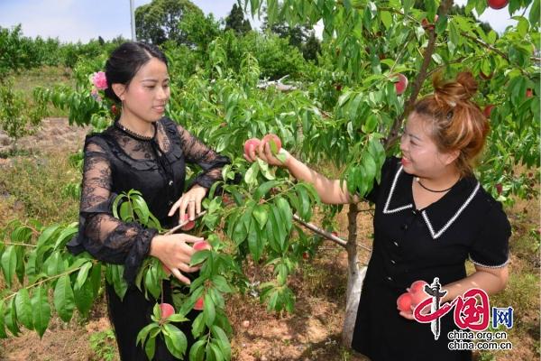 广元昭化:2万余亩鲜桃成熟上市采摘销售忙