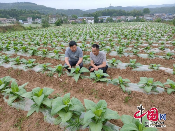 四川剑阁县28.5万亩优质水稻秧苗移栽全面启动