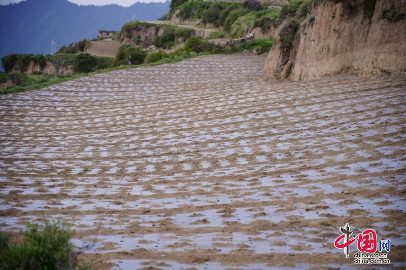 松潘县若尔寨村:高半山里种莴笋 成就村民致富之路