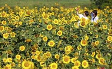 快来岳池县农家生态文化旅游园区打卡向日葵花海