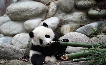 When do pandas lose their baby teeth? | Pandaful Q&A