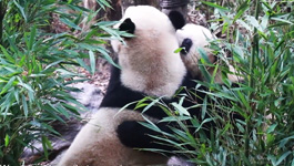 How can we stop giant panda from going extinct? | Pandaful Q&A