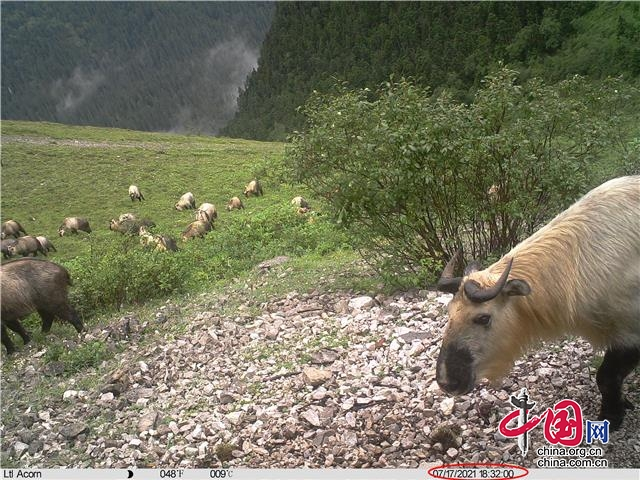 """平武王朗:红外相机连续两天拍到20多头羚牛聚餐""""大场面"""""""
