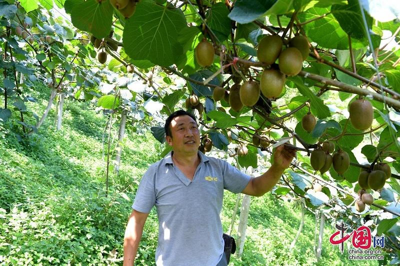 """汶川:千亩猕猴桃成熟上市 """"私人订制""""销售走俏"""