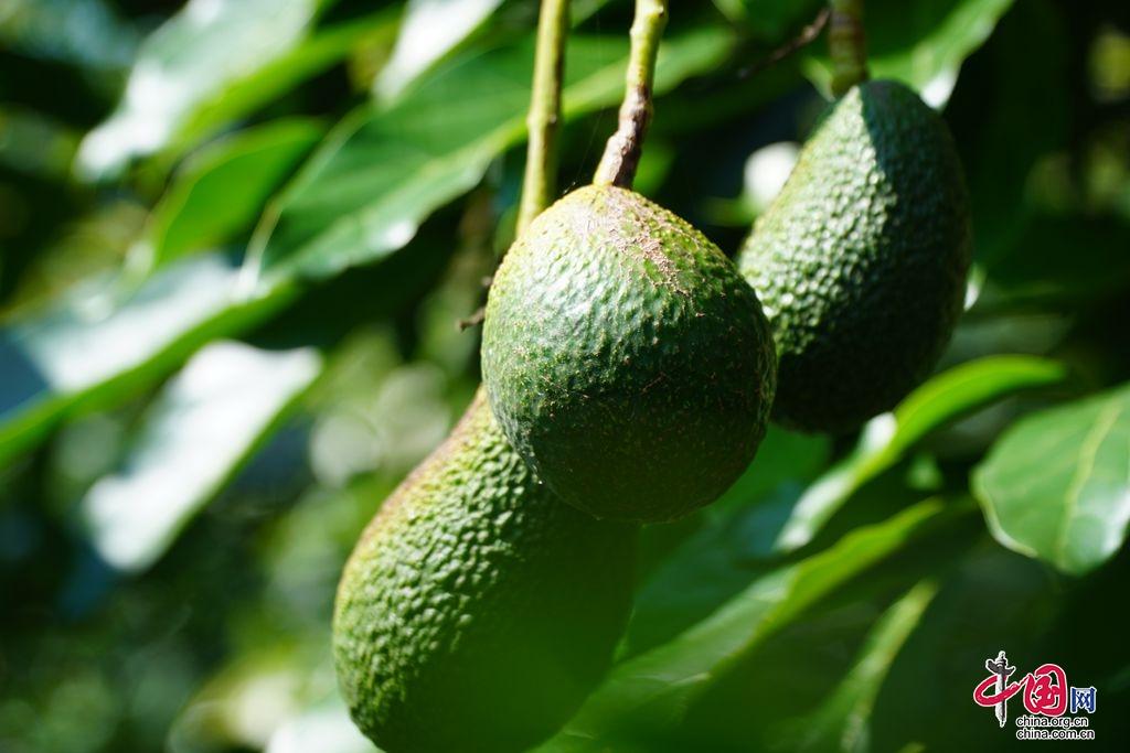 热带水果开启本地模式,四川德昌牛油果喜迎丰收