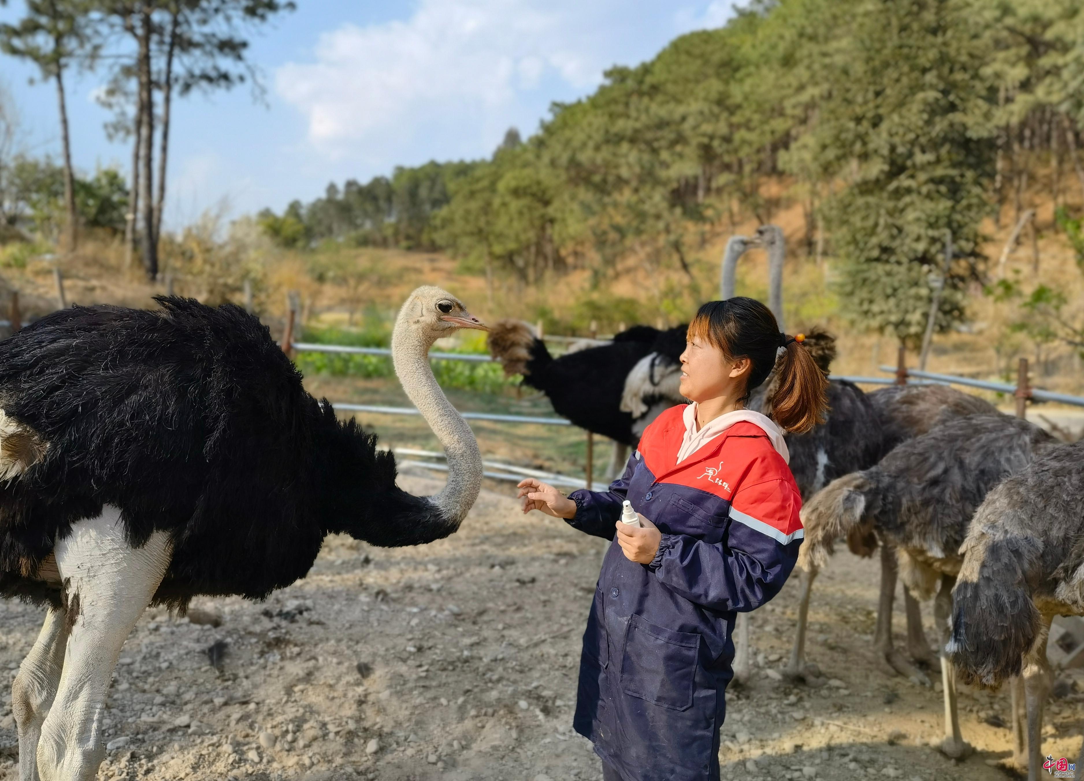 返乡创业天地宽 女大学生发展鸵鸟养殖 带动乡亲致富