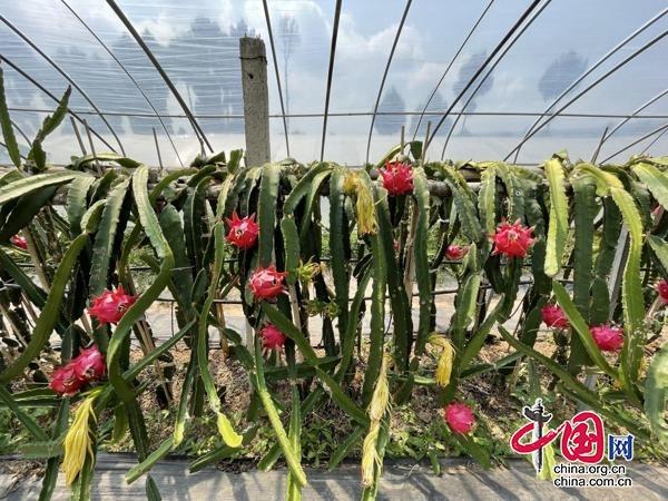 四川剑阁县普安镇:发展火龙果产业 村民生活更红火