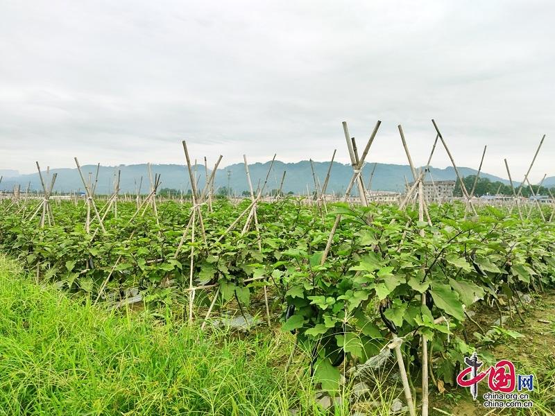 """四川洪雅:探索""""零碳农业"""" 促进绿色发展"""