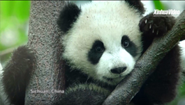 Heritage Sites in China: Sichuan Giant Panda Sanctuaries