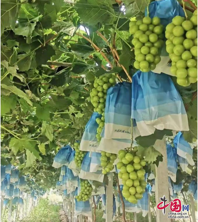 四川剑阁汉阳镇:葡萄产业大丰收 乡村振兴动力足