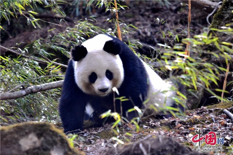 四川青川:生物多样性保护 野生大熊猫增至50只