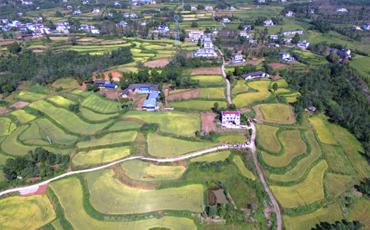 四川苍溪:绿色优质水稻亩产突破658公斤