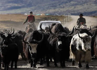 川西北藏牧民开始冬季转场