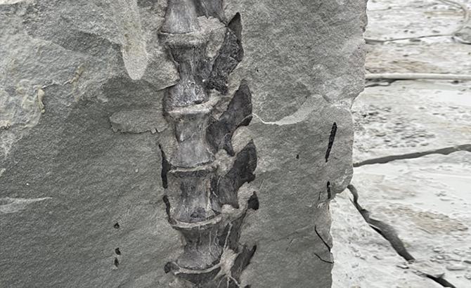 四川隆昌一工地挖出疑似古生物化石,专家称初步判断为蜥脚类恐龙尾椎骨
