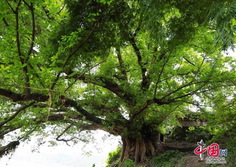 【贯彻党代会精神】武胜县保护名木古树 守护森林资源