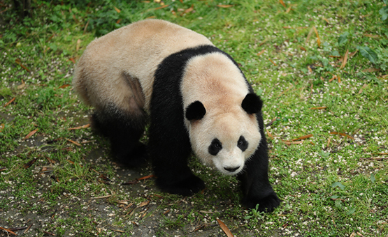 It's a first in the world!  A giant panda recovers from duodenal obstruction after operation
