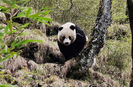 Traces of wild giant pandas found in Tangjiahe National Nature Reserve