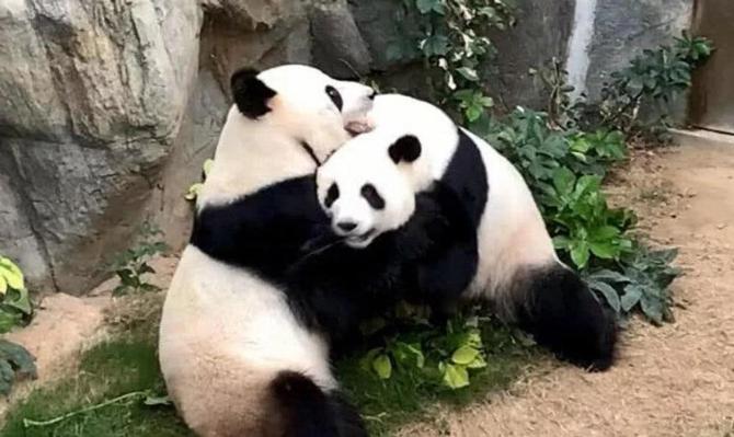 大熊猫1.jpg