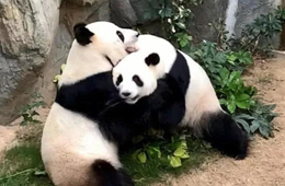 For the first time in nine years, Hong Kong giant pandas Yingying and Lele mate naturally